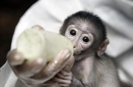 Abbandonata dalla mamma, scimmietta adottata dai veterinari