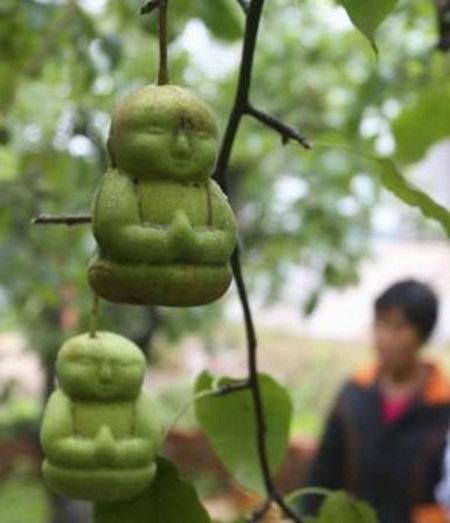 Le pere? In Cina crescono a forma di Buddha