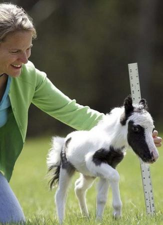 Cavallino da record: il piccolo Einstein è alto solo 35 centimetri