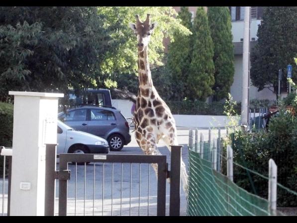 Giraffa fugge da circo in centro a Imola, sedata da vigile