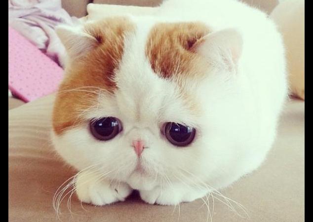 Snoopybabe il tenerissimo gatto cinese che ha conquistato
