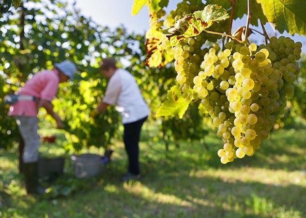 Qualità e sostenibilità, Caviro: l'economia circolare che fa rinascere il mondo del vino